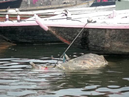 Cadavre de vache flottant dans le Gange - Varanasi